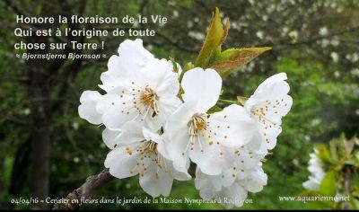 Fleurs de cerisiers, éphémère beauté, symbole d`impermanence
